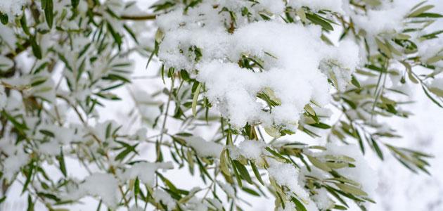 La influencia de la poda del olivo al paso de Filomena