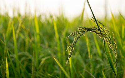 El FEGA publica los importes unitarios definitivos de ayudas asociadas PAC 2020 a los cultivos agrícolas