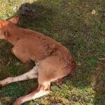 Salamanca gourmet para la fauna salvaje: Un nuevo ataque de los zorros deja otra becerra herida en Tierra de Alba