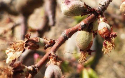 Las heladas complican el volumen y los precios de la nueva campaña 2021/22 de fruta dulce