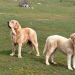 Demandan al Gobierno madrileño protección física y jurídica para los perros pastores, especialmente mastines porque no son mascotas