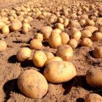 Arranca la campaña de recolección de la patata nueva andaluza con algo de retraso por las últimas heladas