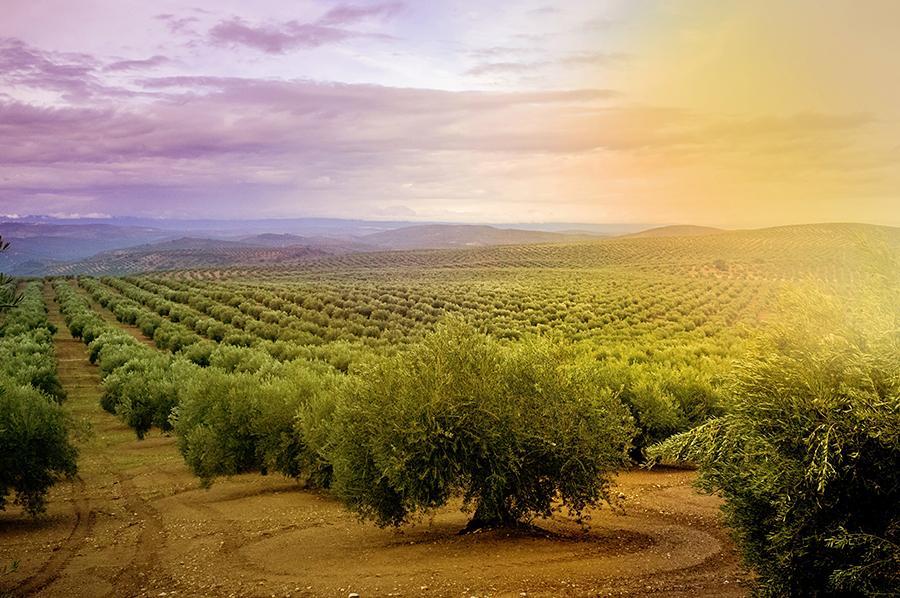 Olivicultura y cambio climático