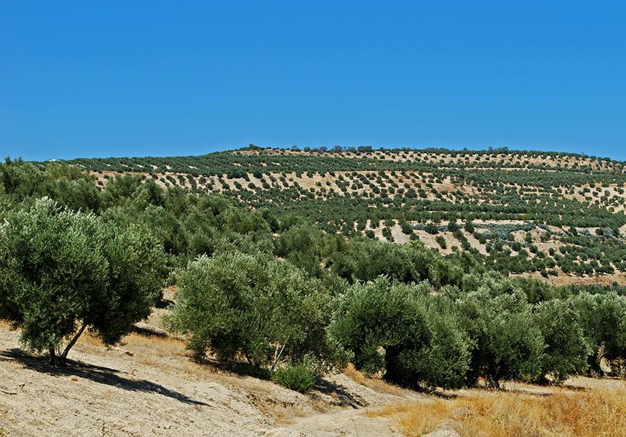 El futuro del olivar jiennense ante un entorno global competitivo