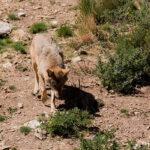 La protección del lobo se frena ante la petición de medidas cautelares para suspender la orden por parte de varias CCAA