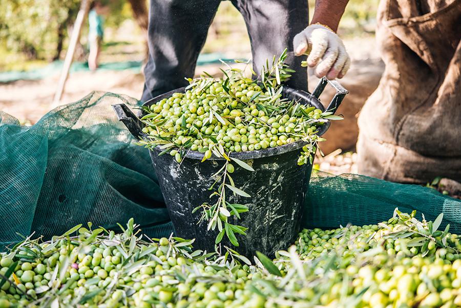 Andalucía prevé una producción de 1.050.300 toneladas de aceite de oliva en la próxima campaña del aceite de oliva