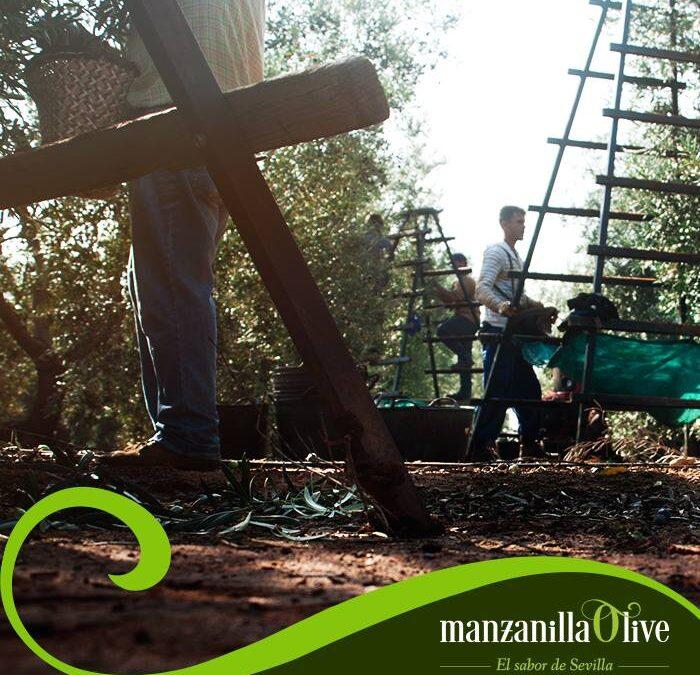 Seguimos con la #Campaña del #Verdeo.  Campaña prevista con #aceituna de mucha #calidad y con buen #tamaño, en reglas generales. #manzanillaolive #aceitunas #olives #verdeo2021